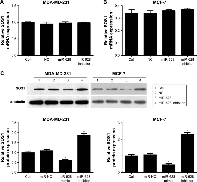 miR-628 suppressed the mRNA and protein expression of SOS1 . Notes: The breast CSCs of MDA-MB-231 ( A ) and MCF-7 ( B ) cells were transfected with the miR-628 mimic and miR-628 inhibitor, and SOS1 mRNA level was determined by <t>qRT-PCR.</t> ( C ) The breast CSCs of MDA-MB-231 and MCF-7 cells were transfected with miR-628 mimic and miR-628 inhibitor, and SOS1 protein level was analyzed by Western blotting. The protein expression levels were statistically analyzed by quantitating the intensity of the protein bands relative to that of the internal loading control (α-tubulin). Values indicate mean ± SD; * P
