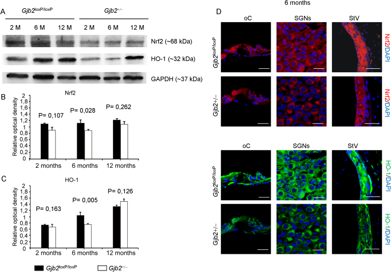 Decreased levels of endogenous antioxidant defenses in the cochlea of Gjb2 +/− mice. A: Western blot analysis of Nrf2 and <t>HO-1</t> expression in Gjb2 lox P /lox P and Gjb2 +/− cochleae (n = 8 for each condition) at 2, 6 and 12 months of age (M). B, C: Histograms (mean ± s.e.m.) represent optical density values normalized to GAPDH. Experiments were performed in triplicate and p-values were determined by two-tailed t -test. D: Immunofluorescence analysis of Nrf2 (upper panels, red fluorescence) and HO-1 expression (lower panels, green fluorescence) in the organ of Corti (oC), spiral ganglion neurons (SGNs) and stria vascularis (StV) at 6 months (M). Scale bars: oC, 20 µm; SGNs, 15 µm; StV, 50 µm.