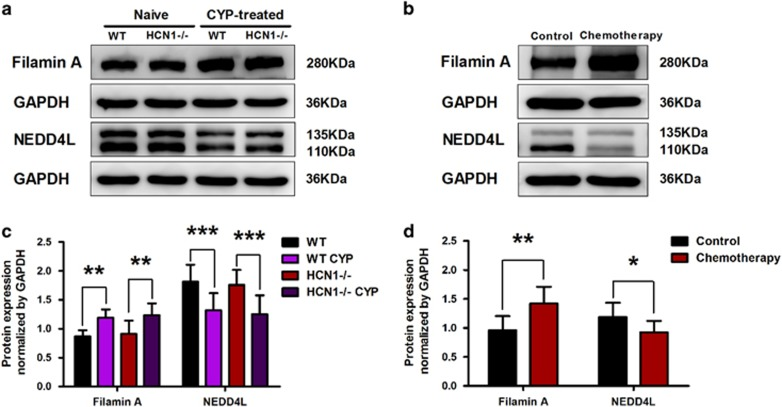 <t>Filamin</t> A and NEDD4L protein expression levels are altered in cystitis. ( a , c ) Upon CYP treatment, Filamin A protein expression level in the bladder was significantly elevated, while NEDD4L protein expression level was significantly downregulated (data represent the mean±s.d., N =6, ** P