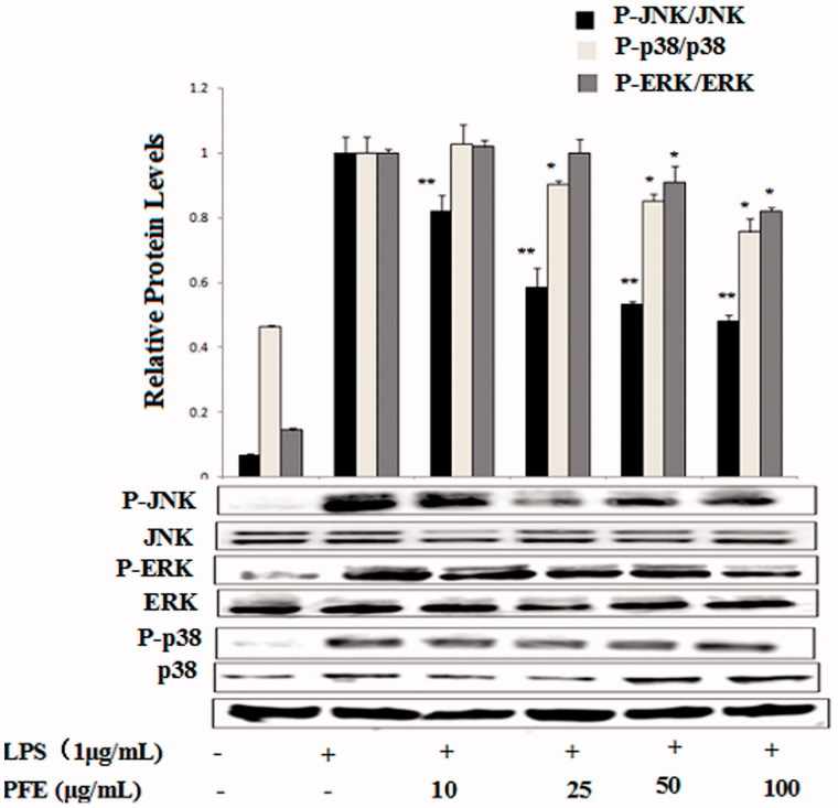 Effects of PFE on phosphorylation of MAPKs activity in LPS-stimulated RAW 264.7 cells. The cells were pretreated with the different concentrations of PFE for 1 h and then exposed to LPS for 30 min. Total cellular proteins of cells were harvested for measurements of total or phosphorylated ERK1/2, JNK, and p38 by Western blotting. Data show mean ± SEM values of three independent experiments. * p