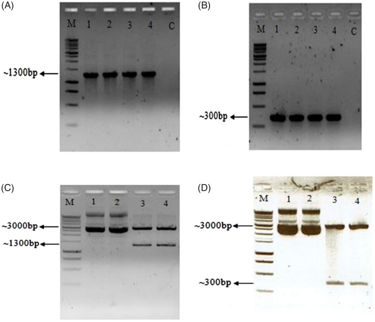 Agarose gel electrophoresis of several rbc L PCR (A) and ITS2 fragment (B). Lane C shows negative control. The successful recombinant plasmid of PEasy- rbc L (C) and PEasy-ITS2 recombinant plasmid (D) is shown. 1 kb DNA ladder (Promega, Madison, WI).