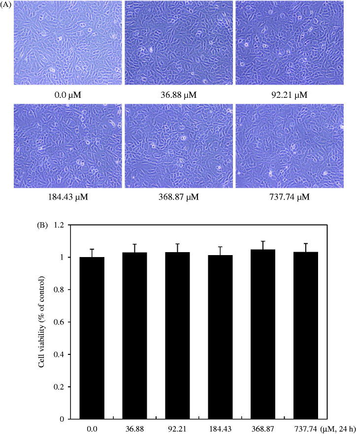 Effect of isoimperatorin treatment on the viability of rabbit articular chondrocytes. Chondrocytes were treated with the indicated concentrations (0.0–737.74 μM) of isoimperatorin for 24 h. Photographs of chondrocytes (A) were taken with a phase-contrast microscope (200× magnification). Cell viability was estimated using the methyl thiazole tetrazolium (MTT) assay. The graphical data (B) are expressed as mean ± standard error of mean.
