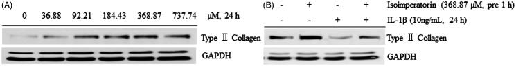 Effect of isoimperatorin on the dose-dependent expression of type II collagen in primary chondrocytes. After the treatment of chondrocytes with indicated concentrations of isoimperatorin for 24 h, (A) type II collagen expression was detected using Western blot analysis. (B) Isoimperatorin increased the expression of type II collagen in primary chondrocytes in the presence or absence of IL-1β. GAPDH was used as the loading control.