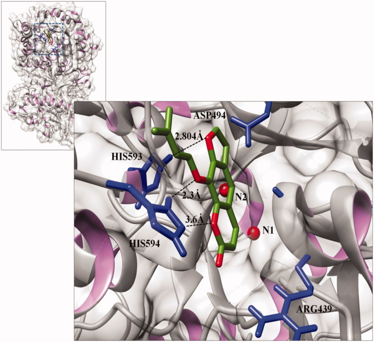Interactions between isoimperatorin and Jack bean urease (PDB ID 3LA4) at the active site, generated using Discovery studio 2.1.0. The light silver colour shows the backbone of the urease protein in solid ribbon format. Carbon and oxygen atoms of the ligand molecule are shown in green and red, respectively. The interacting residues are shown in blue, while the dotted lines indicate the binding distances (Å).
