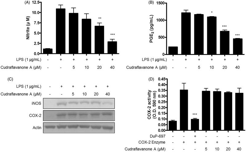 Effects of cudraflavanone A on LPS-induced NO, PGE2 production, iNOS, COX-2 protein expression and COX-2 enzyme activity in BV2 cells. (A–C) Cells were pretreated with/without the indicated concentrations of cudraflavanone A for 3 h and then stimulated with LPS (1 µg/mL) for 24 h. Nitrite levels (A) were determined using the Griess reaction and PGE2 (B) was quantified by ELISA. * p