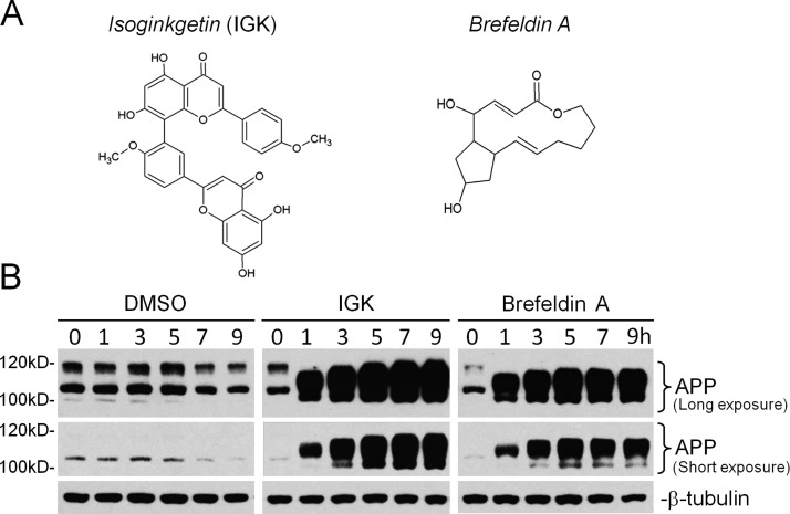 Similar APP expression pattern by brefeldin A, a protein ER-to-Golgi traffic blocker. (A) Chemical structures of isoginkgetin and brefeldin A. (B) Western blots of time-coursed APP expression in HEK293T cells treated with 30 μM IGK, 5 μM brefeldin A, and DMSO.