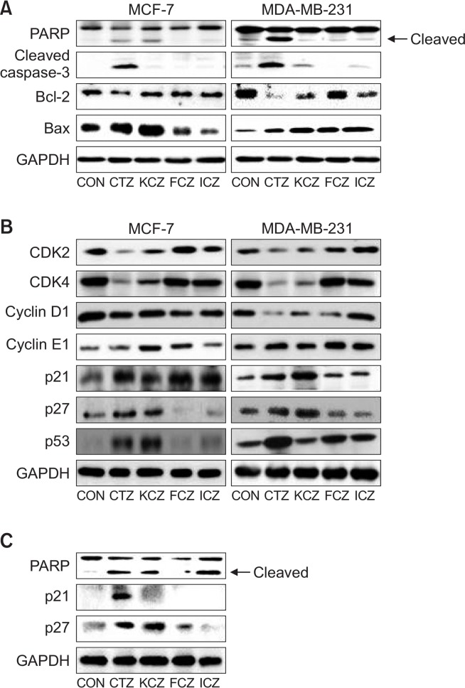 Effect of azole antifungal compounds on protein expression. MCF-7 and MDA-MB-231 cells were treated with 50 μM imidazole [clotrimazole (CTZ) or ketoconazole (KCZ)] or triazole [fluconazole (FCZ) or itraconazole (ICZ)] compounds for 24 h. The protein expression related to apoptosis (A) and cell cycle (B) were examined in MCF-7 and MDA-MB-231 cells after treatment of each compound for 24 h. The protein expression was also examined in the xenograft model of MDA-MB-231 cells after treatment of each compound for 8 weeks (C). Glyceraldehyde 3-phosphate dehydrogenase (GAPDH) was used as the loading control. This experiment was performed three times. Band density was estimated using ImageJ 1.45s software (NIH).