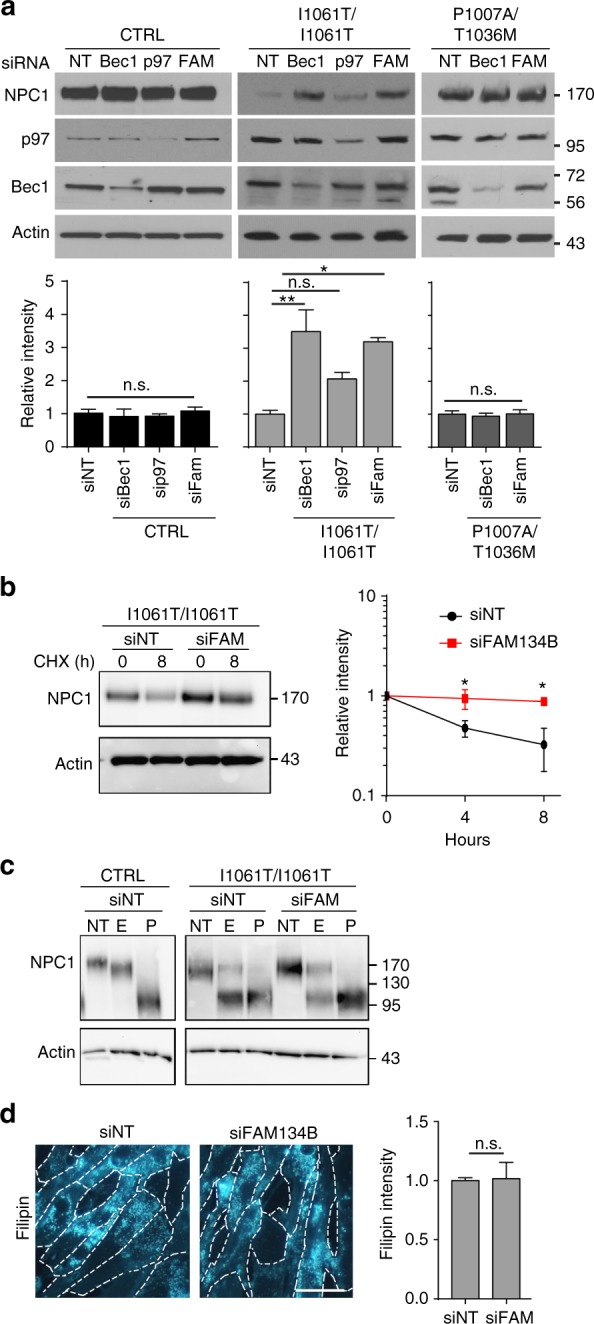 I1061T is degraded by ER-phagy. a CTRL, I1061T, or P1007A/T1036M NPC1 fibroblasts were treated with the following siRNAs: non-targeting (NT), beclin-1 (Bec1), p97, and FAM134B (FAM) at t = 0 and t = 24 h. Lysates were collected at t = 48 h and NPC1 levels analyzed and quantified below. b I1061T NPC1 fibroblasts were treated for 2 sequential days with non-targeting siRNA (siNT) or siRNA FAM134B (siFAM134B), then treated with cycloheximide and serum starved. NPC1 protein levels were analyzed by western blot, quantified at right. c Lysates from a were digested with endoglycosidase H (E), PNGaseF (P), or not treated (NT) and then analyzed by western blot. d I1061T NPC1 fibroblasts were treated with siRNAs as in a . At t = 48 h, cells were stained with filipin. Intensity quantified at right. Scale bar = 50 μm. Data are mean ± s.e.m. from a 3–6; b , c 3 independent experiments. n.s., not significant, * P ≤ 0.05. ** P ≤ 0.01 by a , b ANOVA with a Tukey or b Bonferroni posthoc test; c Student's t -test. * P ≤ 0.05, a (I10) F = 10.37; b F = 7.45