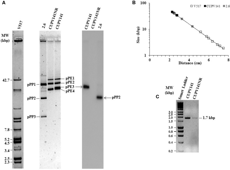 Detection of plasmids of P. ethanolidurans CUPV141 and CUPV141NR strains and of P. parvulus 2.6. (A) Detection of the gtf gene by Southern blot hybridization. Left, analysis in a 0.7% agarose gel of plasmids preparations of LAB strains and of E. coli V517. Right, hybridized membrane of samples transferred from the agarose gel. (B) Depicts the calibration curve for plasmid size determination. Symbols: plasmids from E. coli V517 (◊), P. ethanolidurans (♦) and P. parvulus (♦) strains. (C) Analysis in 0.7% agarose gel of gtf PCR amplicons obtained with genomic DNA from CUPV141 and CUPV141NR strains. Smart Ladder, molecular weight standard.