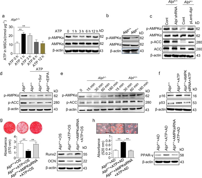 ATP-mediated AMPKα pathway inactivation contributes to MSC dysfunction. a Alpl +/+ MSCs were treated with 10 μmol⋅L –1 ATP. Intracellular ATP concentrations and expression levels of AMPKα and p-AMPKα were examined 0, 1, 3, 6 and 12 h after treatment. b Expression levels of AMPKα and p-AMPKα in the Alpl +/+ and Alpl +/- MSCs were examined by western blotting. c Expression levels of AMPKα, p-AMPKα, ACC and p-ACC in Alpl +/+ and Alpl +/- MSCs transfected with lentivirus were analyzed by western blotting. d Alpl +/+ MSCs were treated with 10 μmol⋅L –1 ATP with or without 50 μmol⋅L –1 EIPA and 100 μmol⋅L –1 suramin, and the expression levels of p-AMPKα and p-ACC were analyzed by western blotting. e 293T cells were treated with medium of Alpl +/+ and Alpl +/- MSCs, and the expression levels of p-AMPKα and p-ACC were analyzed by western blotting. f-h Downregulated AMKPα expression in Alpl +/+ MSCs and treatment with or without 10 μmol⋅L –1 ATP. Ageing-specific genes were analyzed at 48 h by western blotting. Alizarin Red and Oil Red O staining and quantifications were performed on day 21 and day 14 after the osteogenic/adipogenic induction (OS/AD). Expression levels of Runx2, OCN and PPAR-γ were examined by western blotting on day 7 after induction. Scale bars, 100 μm. n = 6 per group. The data are presented as the means ± s.d. of each independent experiment performed in triplicate. ** P