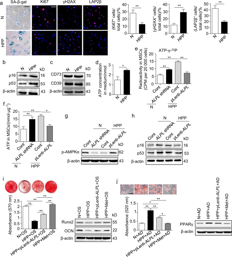 Alpl also controls the differentiation and senescence of human MSCs via ATP-mediated inactivation of the AMPKα pathway. a SA-β-gal staining and Ki67, γH2AX and LAP2β immunostaining of third-passage MSCs from normal controls and HPP patients. Quantification of Ki67 + , γH2AX + and LAP2β + is indicated in the right panel. Scale bars: 50 μm. b Expression levels of ageing-specific genes in normal and HPP MSCs were examined by western blotting. Scale bars, 50 μm. c Expression levels of CD73 and CD39 in normal and HPP MSCs were examined by western blotting. d Extracellular ATP concentrations in normal and HPP MSC medium were examined by a regular ATP concentration assay. e Intracellular radioactivity was examined after a 1-h treatment with ATP-γ- 32 P in different lentiviral vector transduction groups. f Intracellular ATP concentrations were assayed 48 h after the transduction of different lentiviral vectors. g Western blotting analysis of p-AMPKα expression in normal control and the ALPL shRNA, HPP control and pLenti- ALPL groups. h Expression levels of p16 and p53 were assayed 48 h after the transduction of different lentiviral vectors. i HPP MSCs overexpressing ALPL or treatment with 0.1 mM metformin, Alizarin Red staining and quantification of mineralized nodules were performed on day 28 after osteogenic induction (OS). Expression levels of Runx2 and OCN were examined by western blotting on day 7 after induction. j Oil Red O staining and quantification of fat depots were performed on day 14 after the adipogenic induction (AD). PPAR-γ expression was examined on day 7 after induction by western blotting. Scale bars, 100 μm. (N) Normal control n = 5, HPP (hypophosphatasia patient) n = 2. The data are presented as the means ± s.d. of each independent experiment performed in triplicate. * P