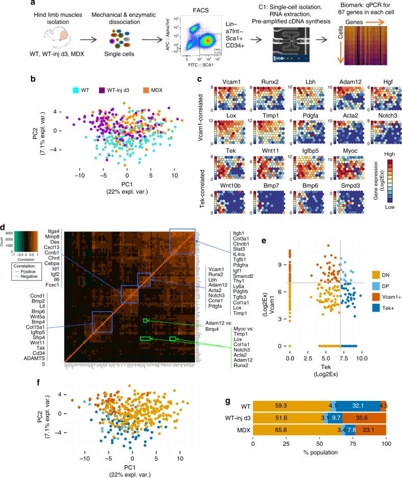 Heterogeneous FAPs population consists of distinct subpopulations of cells. a Experimental workflow for single cell gene expression analysis. Hindlimb muscles of C57Bl/10 mice were isolated, minced, and enzymatically digested. FAPs were isolated by FACS and loaded on the C1 System (Fluidigm) to extract RNA, reverse transcribe RNA to <t>cDNA</t> and pre-amplify cDNA from each single cell. Real-time qPCR analysis of single cell-derived cDNA was performed on the <t>Biomark</t> platform (Fluidigm) for 87 genes. b Principal component analysis (PCA) of single cell gene expression values of FAPs isolated from WT, WT notexin-injured day 3 (WT-inj d3) and dystrophic MDX mice. c Self organizing maps (SOM) representation of gene expression in clusters of single FAP cells. Each circle is a cluster of single cells and the fill color represents the level of expression for each gene shown. The expression scale is shown on the left for each gene individually. Expression is measured as Log 2 Ex (Log 2 Ex = Ct (LOD) -Ct (gene) ) with LOD = 24 (limit of detection) and Ct = cycle threshold. d Correlation matrix of single cell gene expression across all cells. Orange color marks high positive correlation, green color marks high negative correlation. Groups of genes outlined in blue are positively correlated, while the genes outlined in green are negatively correlated. e Expression scatterplot of Tek and Vcam1 gene expression. Cutoff is set at 7 Log 2 Ex for both genes based on the SOM graph ( c ). Tek and Vcam1 expression levels define the predicted subpopulations, marked as Tek(Tie2)+/Vcam− (Tek+) in dark blue, Vcam1+/Tek(Tie2)− (Vcam1+) in brown, double positive (DP) in light blue and double negative (DN) in gold. f The same PCA as in Fig. 1a but with cells color coded based on the FAPs subpopulations predicted in Fig. 1e. g Distribution of subpopulations in each experimental condition ( n = 2)