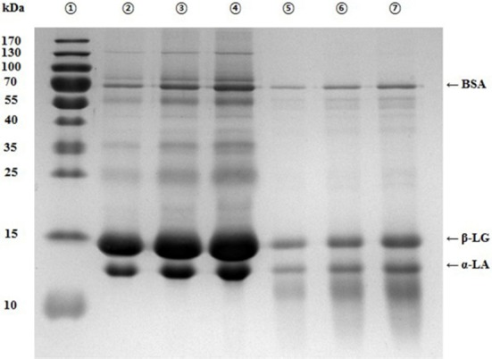 SDS-PAGE patterns of whey protein concentrate (WPC) hydrolysates produced by trypsin and α-chymotrypsin after 8 h-hydrolysis. Lane 1, protein marker; Lane 2, WPC (40 µg/20 µL); Lane 3, WPC (80 µg/20 µL); Lane 4, WPC (120 µg/20 µL); Lane 5, WPC hydrolysate (40 µg/20 µL); Lane 6, WPC hydrolysate (80 µg/20 µL); Lane 7, WPC hydrolysate (120 µg/20 µL). SDS-PAGE, sodium dodecyl sulfate polyacrylamide gel electrophoresis.