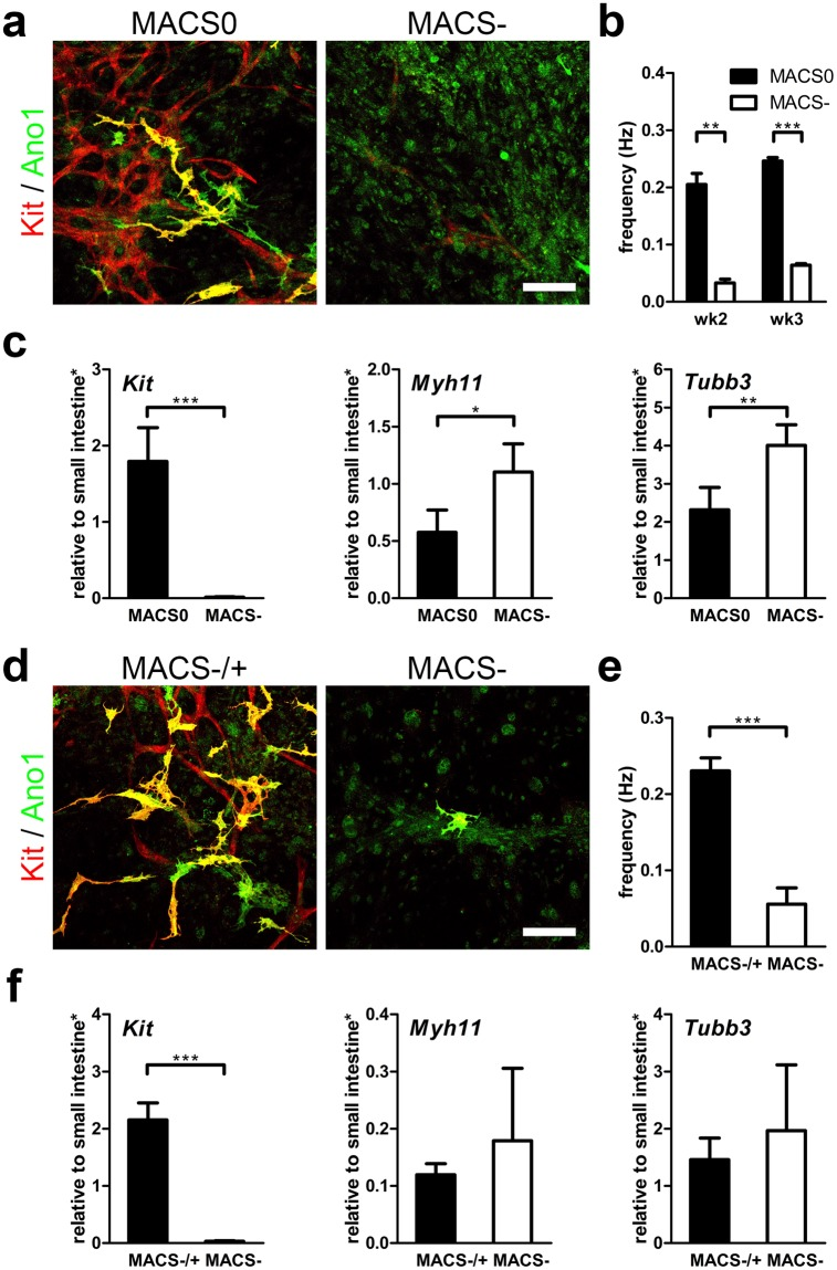 MACS+ cells' role in cultured ISMC Mix with rhythmic contractions in vitro . ( a – c ) 100 k MACS0 (passaged ISMC Mix: mixture of MACS+ cells, SMCs and neuronal cells) or MACS− cells (ISMC Mix without MACS+ cells: mostly SMCs and neuronal cells) were cultured on STO cells for 3 weeks. Cells were seeded and cultured in FBS medium for the first 4 days before changing to F12 medium. ( d – f ) 100 k MACS− were seeded on STO cells for 5 weeks, with (MACS−/+) or without (MACS−) addition of 60 k MACS+ cells on day 5. Cells were cultured in FBS medium for the first 7 days before changing to F12 medium. ( a,d ) Confocal images of ICC markers, Kit (red), Ano1 (green), co-localization (yellow). Scale bar, 100 µm. ( b,e ) Frequency of cultured cells motility due to spontaneous contraction ( b : wk2 n = 2 , wk3 n = 4 ; ( e ) wk5 n = 4 ). ( c,f ) Cultured cells were analyzed for mRNA expression ( Kit, Myh11, Tubb3 ) at week 2 ( c ) or week 5 ( f ) ( n = 4 ). *Samples were normalized to de-epithelialized intestine. Error bars, s.d. ***P