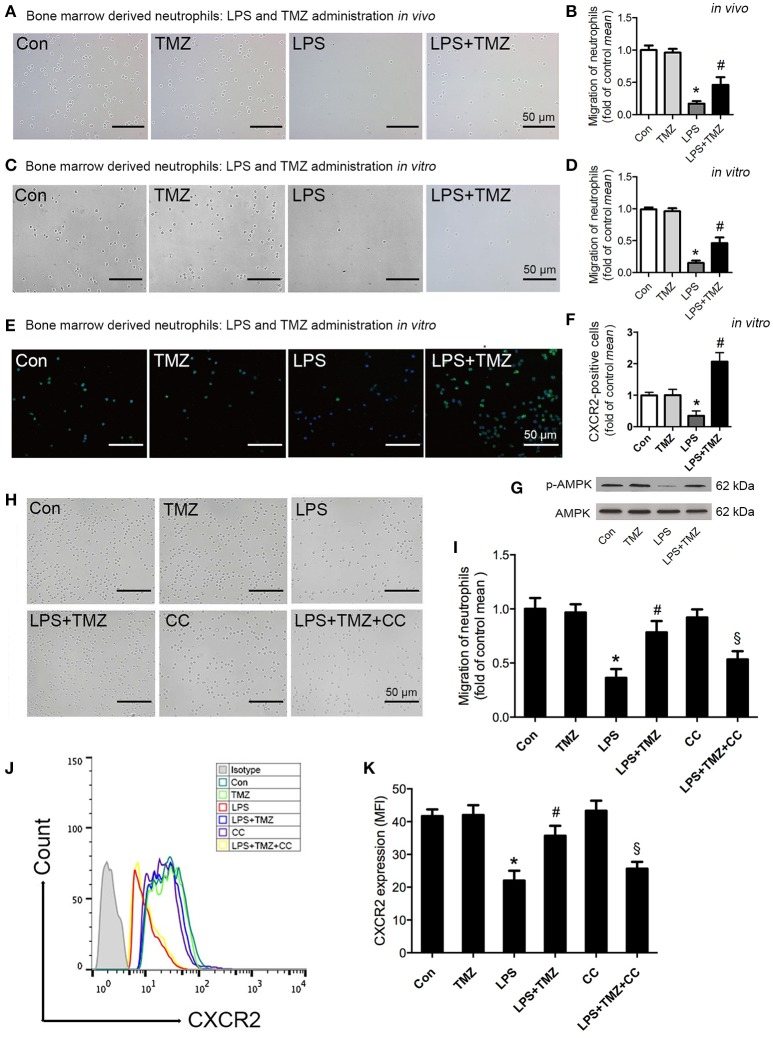 TMZ enhanced neutrophil migration by regulating CXCR2 expression through AMPK pathway. (A) 8–10 week-old C57BL/6 male mice were first injected with LPS (15 mg/kg), then TMZ (20 mg/kg) was administrated by gavage every 6 h for 3 times after LPS injection for 6 h. Representative images of migrated BMDNs by transwell assay. (B) Relative quantitative assay of migrating BMDNs under optical microscopy. (C) Neutrophils isolated from non-simulated mice bone marrow, then BMDNs were subjected to LPS stimulation (5 μg/ml) for 1 h and subsequently treated with TMZ (20 μM) for 2 h. Representative images of migrated BMDNs by transwell assay. (D) Relative quantitative assay of migrating BMDNs under optical microscopy. (E) Representative images of BMDN immunofluorescent CXCR2 (green) staining. Nuclei were stained by DAPI (blue). (F) Quantitative of CXCR2 expression by measuring fluorescence intensity. (G) Phosphorylation of AMPK in BMDNs was examined by western blotting. (H) BMDNs were first treated with AMPK inhibitor CC (CC) (1 μM) for 1 h, then subjected to LPS stimulation (5 μg/ml) for 1 h, subsequently treated with TMZ (20 μM) for 2 h in vitro . Representative images of migrated BMDNs by transwell assay. (I) Relative quantitative assay of migrating BMDNs under optical microscopy. (J) Flow cytometry was performed to examine the expression of CXCR2 on the membrane of neutrophils. (K) Quantitative of CXCR2 expression by FACS. Data were presented as mean ± SEM in vivo and mean ± SD in vitro of three independent experiments. Scale bar: 50 μm. * P