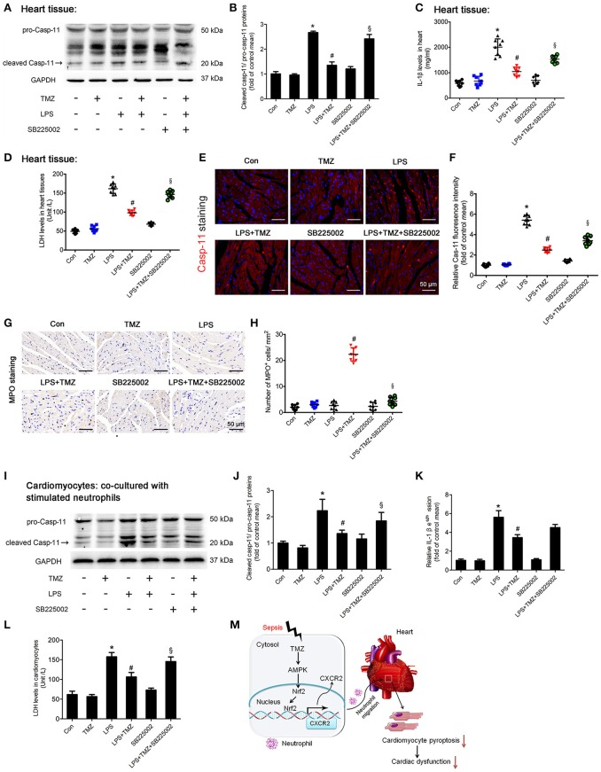 TMZ decreased LPS-induced cardiomyocyte pyroptosis by targeting neutrophils . (A) 8–10 week-old C57BL/6 male mice were first injected with the CXCR2 inhibitor SB225002 (10 mg/kg) and LPS (15 mg/kg), then TMZ was administrated by gavage every 6 h for 3 times after LPS injection for 6 h. Cleaved caspase-11 (marked by arrow) expression in heart tissue was measured by western blotting. (B) Quantification of cleaved Casp-11/ pro-Casp-11 was performed from the western blotting analysis and expressed as fold induction. (C) IL-1β levels in heart tissues were measured by ELISA. (D) LDH levels in heart tissue. (E) Representative images of left ventricular myocardium caspase-11 (red) fluorescent staining. Blue indicates DAPI staining. Scale bar: 50 μm. (F) Relative caspase-11 fluorescent intensity. (G) Representative images of left ventricular myocardium MPO staining. Scale bar: 50 μm. (H) Quantification of MPO-positive cells in 1 mm 2 . (I) BMDNs were first administrated with SB225002 (1 μM), then stimulated with LPS (5 μg/ml) for 1 h, and finally with TMZ (20 μM) treatment. Primary cardiomyocytes of adult mice were co-cultured with stimulated BMDNs by transwell. Cardiomyocytes were seeded in the bottom chamber and BMDNs into the upper chamber. Western blotting analysis of Casp-11 in cardiomyocyte and GAPDH used as loading control. (J) Quantification of cleaved Casp-11/ pro-Casp-11 was performed from the western blotting analysis and expressed as fold induction. (K) Relative expression of IL-1β mRNA in cardiomyocyte (normalized to GAPDH mRNA). (L) LDH levels in cardiomyocytes. (M) The proposed model for this study was summarized. Data is presented as mean ± SEM in vivo and mean ± SD in vitro of three independent experiments. * P