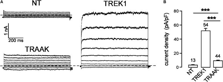 TREK1 and TRAAK currents in HEK293 cells. (A) Representative whole-cell currents from non-transfected cells (NT) and cells transfected with TREK1 and TRAAK channels. Voltage steps were applied from –100 to 60 mV in 20 mV increments from a holding potential of –80 mV. The dotted lines indicate zero current. (B) Current densities at 0 mV. Data are presented as mean ± SEM. ∗∗∗ p