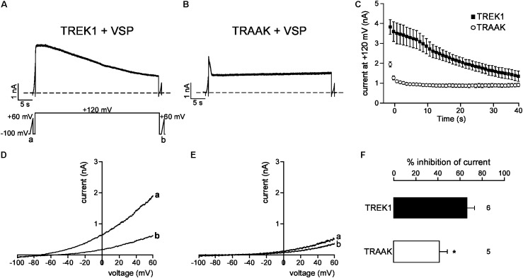 PIP 2 depletion inhibits TREK1 and TRAAK currents. (A,B) Representative perforated patch-clamp recordings from HEK cells co-expressing VSP and TREK1 (A) or TRAAK (B) . (C) Average currents measured at +120 mV during VSP-induced PIP 2 depletion. (D,E) , TREK1 (D) and TRAAK (E) currents before (a) and after (b) the +120 mV/40 s depolarizing pulse. (F) Current inhibition (%) of TREK1 and TRAAK at 0 mV. Data are presented as mean ± SEM. ∗ p