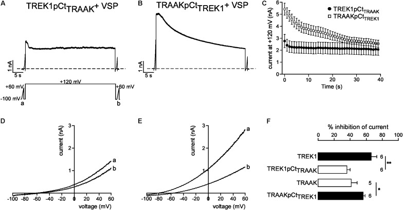 Role of pCt in TREK1 and TRAAK differential sensitivities to PIP 2 . (A,B) Representative perforated patch-clamp recordings from HEK cells co-expressing VSP and TREK1pCt TRAAK (A) and TRAAK pCt TREK1 (B) . (C) Average currents measured at +120 mV during VSP-induced PIP 2 depletion. (D,E) TREK1pCt TRAAK (D) and TRAAKpCt TREK1 (E) currents before (a) and after (b) the +120 mV/40 s depolarizing pulse. (F) Current inhibition (%) of wild-type and mutated channels at 0 mV. Data are presented as mean ± SEM. ∗ p