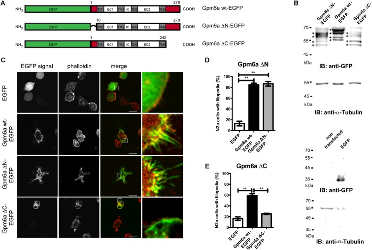 Deletion of the C-terminal but not the N-terminal intracellular domain of Gpm6a interferes with filopodium formation in neuroblastoma cell line N2a. (A) Schematic structure of the EGFP-tagged wild type (wt) Gpm6a and Gpm6a deletion constructs: Gpm6a wt-EGFP (full length wt Gpm6a, 1–278 aa), Gpm6a ΔN-EGFP (Δ1–16), Gpm6a ΔC-EGFP (Δ243–278). The domain organization is indicated by colored boxes: the N-terminal and the C-terminal intracellular domains (red); the four transmembrane domains (TM1-4; gray); the intracellular (IC), the small extracellular (EC1), and the large extracellular (EC2) loops (white). (B) Western blot of lysates from N2a cells overexpressing the indicated constructs. Immunnoblot (IB) was analyzed using the rabbit anti-GFP antibody detected by the goat anti-rabbit secondary IRDye800 CW. Bands representing Gpm6a proteins are indicated by asteriscs. As a loading control alpha-tubulin was detected using the mouse anti-alpha-tubulin monoclonal antibody followed by the goat anti-mouse secondary IRDye680 LT. Below, the control Western blot of lysates from non-transfected N2a cells or N2a overexpressing EGFP alone shows the specificty of detected signal. (C) Localization of ΔN and ΔC Gpm6a mutants in N2a cells. Confocal images of N2a cells transfected with the indicated vectors and labeled with rhodamine red-conjugated phalloidin to visualize F-actin cytoskeleton. Gpm6a wt-EGFP and EGFP alone were used as controls. Gpm6a wt-EGFP and Gpm6a ΔN-EGFP accumulate at plasma membrane and in filopodial protrusions (second and third row). Gpm6a ΔN-EGFP and Gpm6a ΔC-EGFP show higher cytoplasmic localization comparing to the wt Gpm6a. Overexpression of Gpm6a ΔC-EGFP does not induce filopodia formation (bottom row). Scale bar, 10 μm. (D,E) The percentage of transfected N2a cells showing filopodia was quantified in red channel visualizing rhodamine red-phalloidin. On average, 97–119 cells for each transfection condition done in duplicates were analyzed in multiple experi