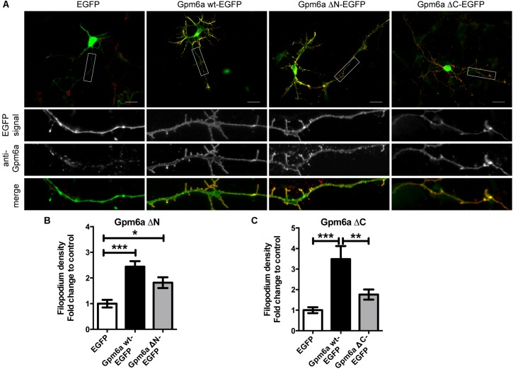 Deletion of the C-terminal intracellular domain of Gpm6a interferes with filopodium formation in hippocampal neurons but a function blocking anti-Gpm6a antibody recognizes surface exposed epitopes of both the ΔN and the ΔC Gpm6a. (A) Micrographs of primary hippocampal neurons (4 DIV) transfected with the indicated vectors and immunostained with rat anti-Gpm6a mAb in non-permeabilized cells. Goat anti-rat IgG labeled with rhodamine red was used as a secondary antibody. Maximized views of neurites show that the surface-exposed regions of Gpm6a wt-EGFP as well as both the Gpm6a ΔN-EGFP and the Gpm6a ΔC-EGFP are recognized by the anti-Gpm6a antibody. Scale bar, 20 μm. (B,C) Filopodium density (the number of protrusions per 45-μm of neurite length) as shown in the maximized views was quantified. Data are means ± SEM. Twenty to thirty three neurons per group done in duplicates were analyzed in multiple independent experiments. One-way ANOVA followed by Tukey's multiple comparison test for post hoc effects, (B) Gpm6a ΔN-EGFP: ∗∗∗ p