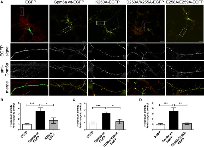 Substitution with alanine of K250, D253/K255, and E258/E259 of Gpm6a interferes with filopodium formation in primary hippocampal neurons but does not prevent mutant recognition by the function blocking anti-Gpm6a antibody. (A) Micrographs of primary hippocampal neurons (4 DIV) transfected with the indicated vectors and immunostained with rat anti-Gpm6a mAb in non-permeabilized cells. Goat anti-rat IgG labeled with rhodamine red was used as a secondary antibody. Maximized views of neurites show that the surface-exposed epitopes of the wt Gpm6a and the mutant proteins K250A, D253A/K255A, and E258A/E259A are recognized by the anti-Gpm6a antibody. Scale bar, 20 μm. (B–D) Filopodium density (the number of protrusions per 45-μm of neurite length) as shown in the maximized views was quantified. Data are means ± SEM. Ten to twenty neurons per group done in duplicates were analyzed in two independent experiments. One-way ANOVA followed by Tukey's multiple comparison test for post hoc effects. (B) K250A-EGFP: ∗∗∗ p