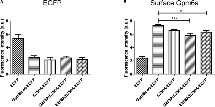 Substitution with alanine of K250, D253/K255, and E258/E259 diminishes the amount of Gpm6a on cell surface. (A) Flow cytometry was used to measure and calculate the mean fluorescence intensity of EGFP in the population of EGFP-positive N2a cells transfected with the indicated vectors as a measure of the total amount of EGFP-tagged proteins. Data are means ± SEM of three independent experiments. One-way ANOVA followed by Dunnett's multiple comparisons test for post hoc effects revealed no significant differences between Gpm6a wt-EGFP vs K250A-EGFP, Gpm6a wt-EGFP vs D253A/K255A-EGFP, and Gpm6a wt-EGFP vs E258A/E259A-EGFP. (B) The mean fluorescence intensity of the surface-labeled Gpm6a measured by flow cytometry in the population of EGFP-positive N2a cells transfected with the indicated vectors. Surface Gpm6a was labeleld by immunostaining of non-permeabilized cells with the rat anti-Gpm6a antibody followed by goat anti-rat IgG conjugated to Alexa Fluor 647. Data are means ± SEM of three independent experiments. One-way ANOVA followed by Dunnett's multiple comparisons test for post hoc effects, ∗∗∗ p