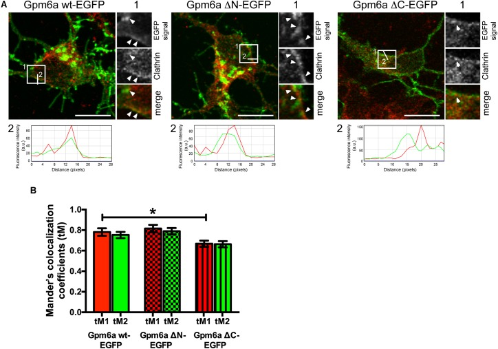 Deletion of the C-terminal cytosolic domain diminishes colocalization of Gpm6a with clathrin in hippocampal neurons. (A) Confocal images of hippocampal neurons (4 DIV) transfected with the indicated vectors (green) and immunostained with antibody against clathrin (red). A portion of Gpm6a-labeled spots colocalizes with clathrin upon overexpression of Gpm6a wt-EGFP and Gpm6a ΔN-EGFP (arrowheads; insets 1). Colocalization diminishes upon overexpression of Gpm6a ΔC-EGFP (arrowhead; inset 1). Fluorescence intensity profiles of the Gpm6a wt, or the ΔN-, or the ΔC- (green) and the anti-clathrin (red) along the white lines 2 indicated in the corresponding ROIs show the overlap of both signals. Scale bar, 20 μm. (B) Colocalization was evaluated in ROIs (25 × 25 pixels) as described in the Methods section. Mander's colocalization coefficients using the calculated thresholds (tM) were determined for the red and the green channel. Ten to twenty neurons per group done in duplicates were analyzed. Data are means ± SEM of two independent experiments. One-way ANOVA followed by Dunnett's multiple comparison test for post hoc effects. ∗ p
