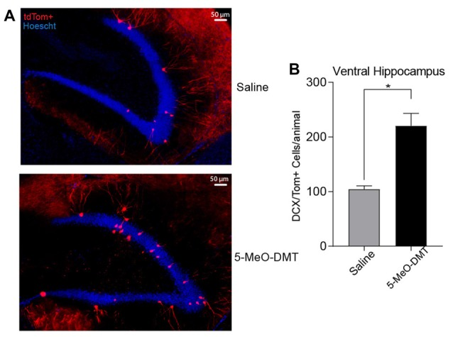 Single dose of 5-MeO-DMT increase the number of new DG granule cells (GC) 21 days after injection. (A) Photomicrography showing representative hippocampal sections (DCX::tdTom+ cells in red and hoechst 33342 in blue). (B) Average number of DCX::tdTom+ cells per group. * p = 0.0006.