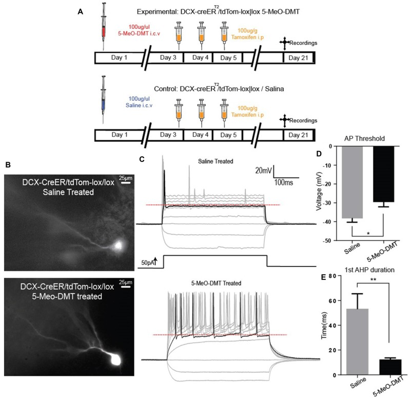 5-Meo-DMT injection alters afterhyperpolarization (AHP) duration and action potential (AP) threshold in immature hippocampus GC. (A) Animals received a dose of 100 μg of 5-MeO-DMT, followed by 100 μg/g of tamoxifen i.p. diluted in sesame oil 3 days after, daily for 3 days to allow cre recombination. Experiments were performed on day 21. (B) Photomicrography of a recorded tdTomato+ cells from control and 5-MeO-DMT-treated mouse. (C) Membrane potential changes in response to current steps, the black line denotes the trace in which the first AP was elicited, red dotted line denote AP threshold for that step. (D) Mean AP threshold. (E) Mean AHP duration. * p = 0.0216, ** p = 0.0062.