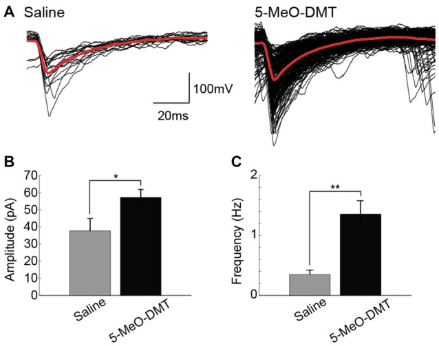 Young GC in <t>5-MeO-DMT-treated</t> show a higher frequency of spontaneous excitatory postsynaptic potentials. (A) Examples of detectedspontaneous excitatory postsynaptic currents (sEPSCs; in 2 min recordings) cells from saline- and 5-MeO-DMT-treated mice. (B) Mean absolute sEPSC amplitude for saline- and 5-MeO-DMT-treated mice. * p = 0.03. (C) Average slopes (ramp current vs. instantaneous AP frequency relationship). ** p = 0.001.