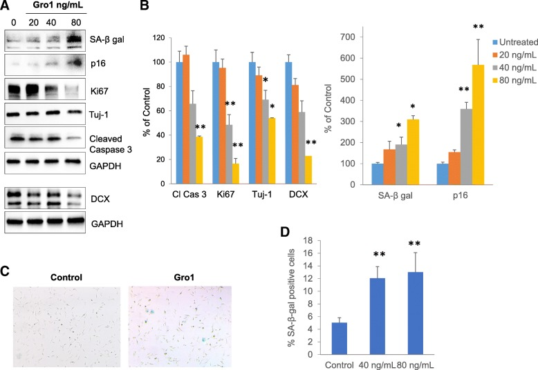 Gro1 induces senescence and arrests proliferation of murine hippocampal neurons. a Western blot analysis of markers of neurogenesis, senescence, apoptosis, and proliferation in HT-22 cells treated with mGro1. Three independent experiments were performed, and representative blots are shown. b Intensities of protein bands were quantified from three individual experiments, normalized to GAPDH, and presented as percent of control (untreated cells). c SA-β-gal enzymatic activity (blue) in HT-22 cells treated with 80 ng/mL Gro1. d Percent SA-β-gal positivity in HT-22 cells treated with Gro1 assessed in 6-well plates in triplicate, with 1000 cells/field counted in three fields/well. Control cells were untreated. * p