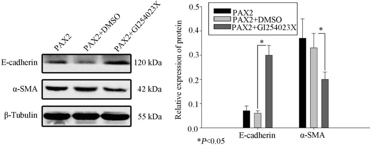Western blot indicating E-cadherin and α-SMA levels in PAX2-overexpressing NRK52E treated with the ADAM10 inhibitor, GI254023X (* P
