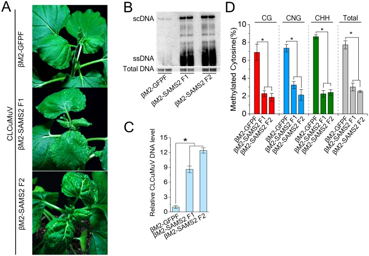 Silencing of NbSAMS2 enhance plant susceptibility against CLCuMuV infection. (A) Symptom of NbSAMS2 -silenced or control plants at 14 dpi. N . benthamiana plants were co-inoculated with CLCuMuV and its beta satellite VIGS vector containing DNA fragment of NbSAMS2 or GFP . (B) Southern blot analysis of viral DNAs in CLCuMuV-infected plants shown in ( A ). Total DNAs were blotted with biotin-labeled probes specific for CLCuMuV V1. The DNA agarose gel was stained with ethidium bromide as a loading control. Viral single-stranded DNA (ssDNA) and supercoiled DNA (scDNA) are indicated. (C) Silencing of NbSAMS2 increased viral DNA accumulation. Real-time PCR analysis of V1 gene from CLCuMuV was used to determine viral DNA level. Values represent means ± SE from three independent experiments. (*p
