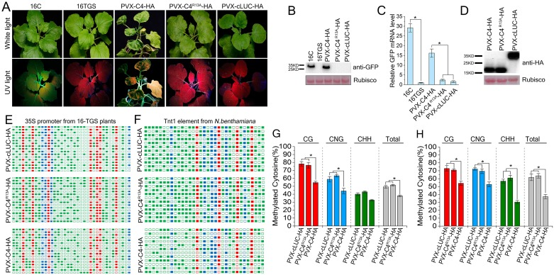 PVX-based expression of C4 reverses TGS of a GFP transgene and suppresses endogenous and exogenous <t>DNA</t> methylation. (A) 16-TGS plants were inoculated with PVX-C4-HA, PVX-C4 R13A -HA or PVX-cLUC-HA, and photographed under UV light at 14 dpi. cLUC represents c-terminal fragment of the firefly luciferase. (B) Western blot assay of GFP accumulation in inoculated plants. GFP protein level was assessed by anti-GFP antibody. Ponceau Red Stained Rubisco was used as a protein loading control. (C) Real-time <t>RT-PCR</t> showed relative GFP mRNA levels of leaves of 16-TGS plants inoculated as indicated. Values represent means ± SE from three independent experiments. (*p