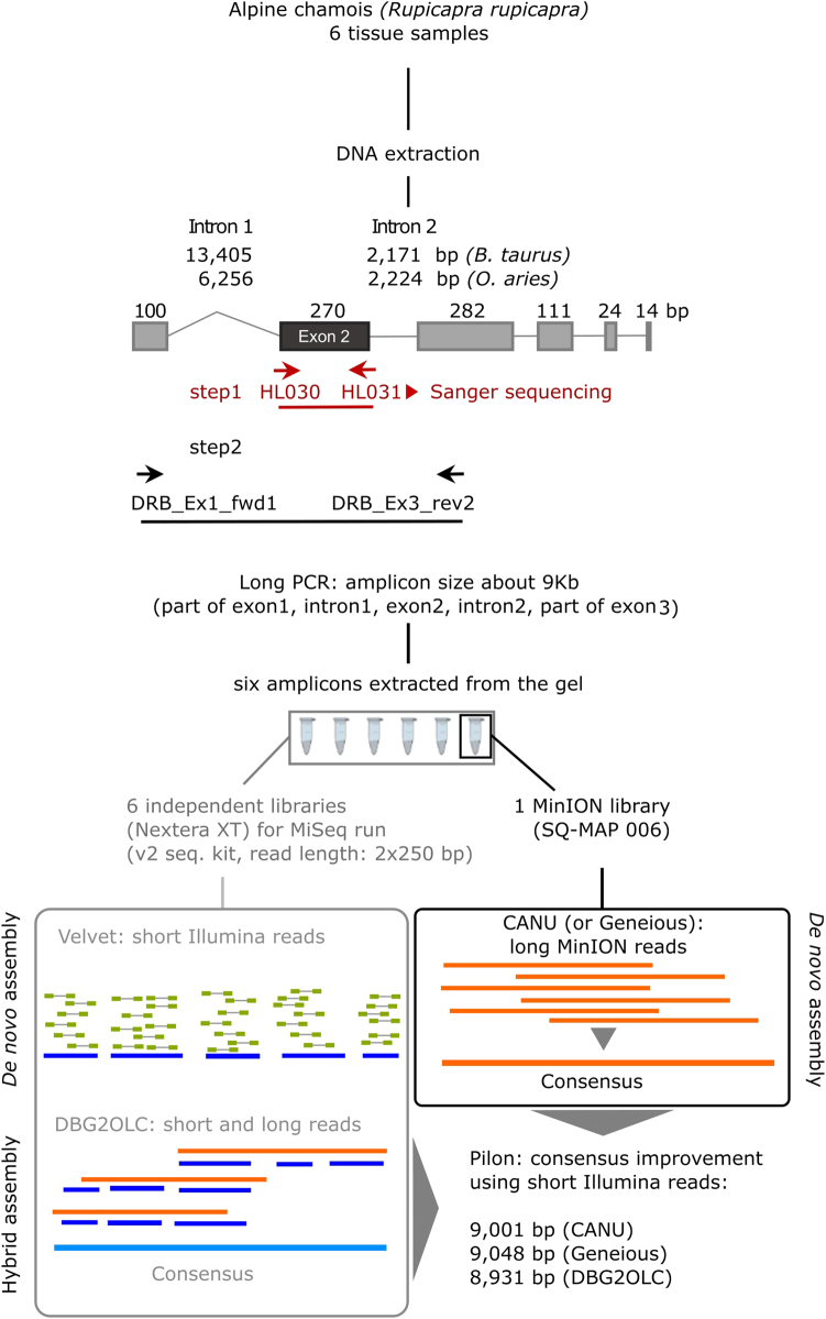 Laboratory procedure used to obtain MHC II <t>DRB</t> short and long amplicons, and assembly pipelines. The short amplicon was sequenced by standard Sanger sequencing (step 1), while the long amplicon was sequenced with Illumina MiSeq and nanopore MinION after gel extraction (step 2). The gene structure is based on Bos taurus (Ensembl: ENSBTAG00000013919) and Ovis aries (GenBank AM884914) structures. Boxes: coding regions, lines: introns, horizontal arrows: <t>PCR</t> primers