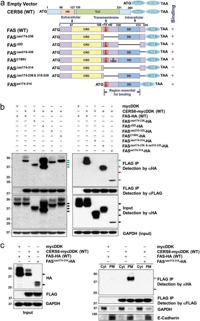CERS6 binds to intracellular domains of CD95/Fas. a Constructs (pCMV6-mycDDK or pCMV6-AC-HA) encoding a human wild-type CERS6 tagged with mycDDK at COOH terminus, FAS full-length and FAS mutants tagged with HA epitopes. HD homeobox (DNA binding) domain, TLC TRAM/LAG/CLN8 homology domain, CRD cysteine-rich domain, TD transmembrane domain, DD death domain. b Co-immunoprecipitation of full-length CERS6 and Fas and Fas mutants to detect direct binding. c Co-immunoprecipitation of full-length CERS6 and Fas/Fas mutants in cellular fractions (Cyt cytosolic fraction that includes ER and other organelles, PM plasma membrane). GAPDH (right) is used as a marker for cytosolic fraction while E-cadherin is the marker for plasma membrane