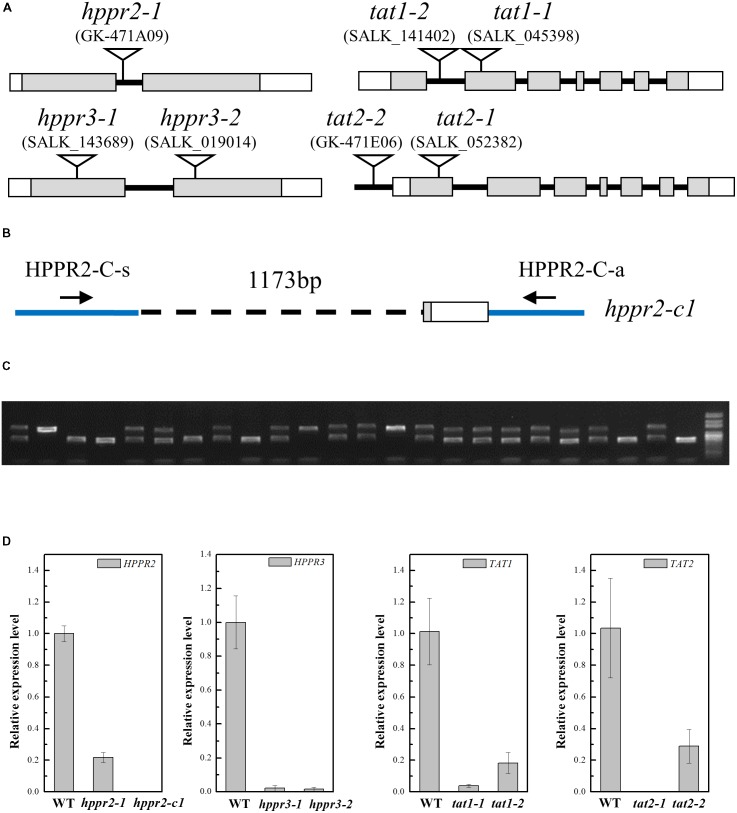 Characterization of the hppr2 , hppr3 , tat1 , and tat2 mutants. (A) Schematic diagram of the T-DNA insertion in hppr2-1 , hppr3-1 , hppr3-2 , tat1-1 , tat1-2 , tat2-1 , and tat2-2 mutants. Exons and untranslated regions are indicated by gray and white boxes, respectively. (B) Schematic diagram showing the hppr2-c1 mutation, which was generated by CRISPR/Cas9. A 1173-bp fragment was detected in genomic DNA. HPPR2-C-s and HPPR-C-a are the primer pair used to confirm the deletion. (C) PCR analysis of DNA from T2 plants generated from a single T1 plant contained the hppr2-c1 mutation. (D) Quantitative reverse transcription PCR (qRT-PCR) analysis of HPPR2 , HPPR3 , TAT1 , and TAT2 transcript abundance in the wild type (WT) and the T-DNA mutants. Data are means of three biological replicates ± SE.