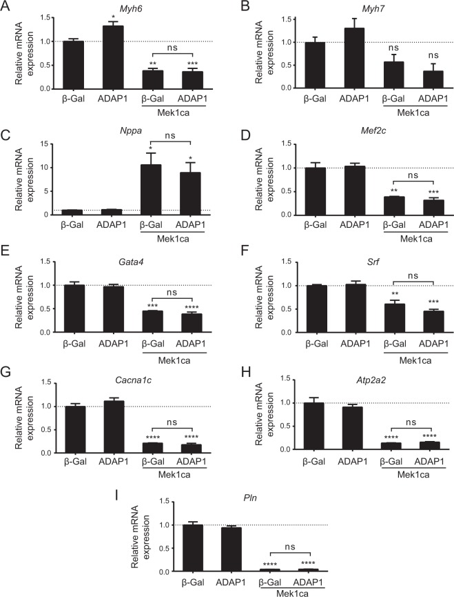 ADAP1 does not interfere with Mek1ca-induced fetal gene program activation. ( A – I ) Analysis by RT-qPCR of different mRNA expressed in rat neonatal ventricular cardiomyocytes (RNVC) that are representative of the fetal gene program. The RNVC were infected with an β-Gal- (negative control), ADAP1-, or Mek1ca-overexpressing adenovirus, individually or in combination as indicated, and were cultured for 72 h post-infection. The histograms represent mRNA expression levels relative to the β-Gal control and normalized to the Rpl30 reporter gene ( n = 3 independent experiments). * P