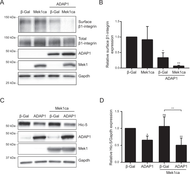 ADAP1 reduces cell surface β1-integrin expression in cardiomyocytes. ( A ) Representative Western blot of biotin-labeled cell surface β1-integrin expression compared to total β1-integrin expression in protein lysates of rat neonatal ventricular cardiomyocytes (RNVC) infected with a β-Gal- (negative control), ADAP1-, or Mek1ca-overexpressing adenovirus, individually or in combination as indicated, and cultured for 72 h post-infection. The expression levels of ADAP1, Mek1ca, and Gapdh (loading control) were also verified. ( B ) The histogram represents the level of cell surface β1-integrin expression normalized to total β1-integrin expression relative to the β-Gal control and measured using the same experimental conditions as in A ( n = 3 independent experiments). * P