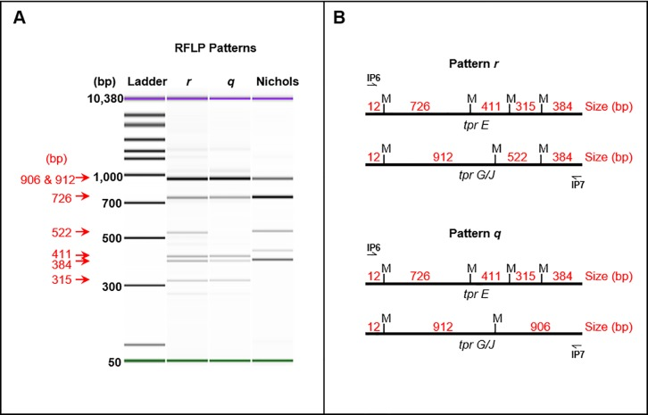 "RFLP patterns of T . pallidum subsp. pertenue . (A) The tpr E , G , and J genes were amplified in a nested PCR to produce a mixed amplicon approximately 1830–1848 bp in length. Following PCR, amplicons were digested with the enzyme Mse I and analyzed on an Agilent Bioanalyzer. Two RFLP patterns ( q and r ) were observed among the clinical specimens and laboratory strains analyzed, including those for strains only partially typed (data not shown). The sizes of each fragment were confirmed through sequencing and are indicated in red. The Nichols TPA strain was used as a control for RFLP. The violet and green bands visible in each lane depict the Bioanalyzer kit's internal control upper and lower bands, respectively. (B) Each of the tpr E , G , and J genes was amplified directly from the genome and sequenced. Regions of the products between the IP6 and IP7 primer annealing sequences were analyzed for Mse I restriction sites for both patterns. Approximate positions of each site (indicated as ""M"") are shown. Sizes between each restriction site are listed in red."