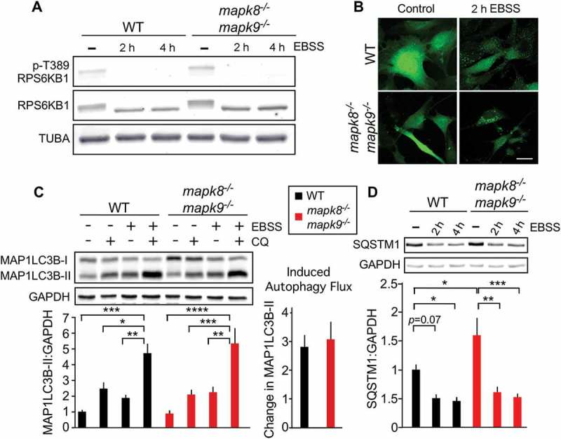 Autophagy caused by starvation does not require MAPK8/9 in immortalized MEFs. (a) RPS6KB1, p-Thr389 RPS6KB1, and TUBA expression by WT and mapk8 −/- mapk9 −/- immortalized MEFs after incubation with EBSS containing 5mM glucose (2 or 4 h) was examined by immunoblot analysis. (b) WT and mapk8 −/- mapk9 −/- immortalized MEFs were transduced with a lentivirus vector that expresses <t>GFP-LC3B.</t> Puncta formation following incubation with EBSS containing 5 mM glucose (2 h) was examined by fluorescence microscopy. Scale bar: 30 µm. (c) LC3B and <t>GAPDH</t> in WT and mapk8 −/- mapk9 −/- immortalized MEFs after incubation (2 h) in medium or with EBSS containing 5 mM glucose in the presence or absence of 25 µM chloroquine (CQ) was examined by immunoblot analysis. The LC3B-II:GAPDH ratios were normalized to the average of WT control condition (first lane). The data presented represent the mean ± SEM; n = 3 independent experiments; *, p