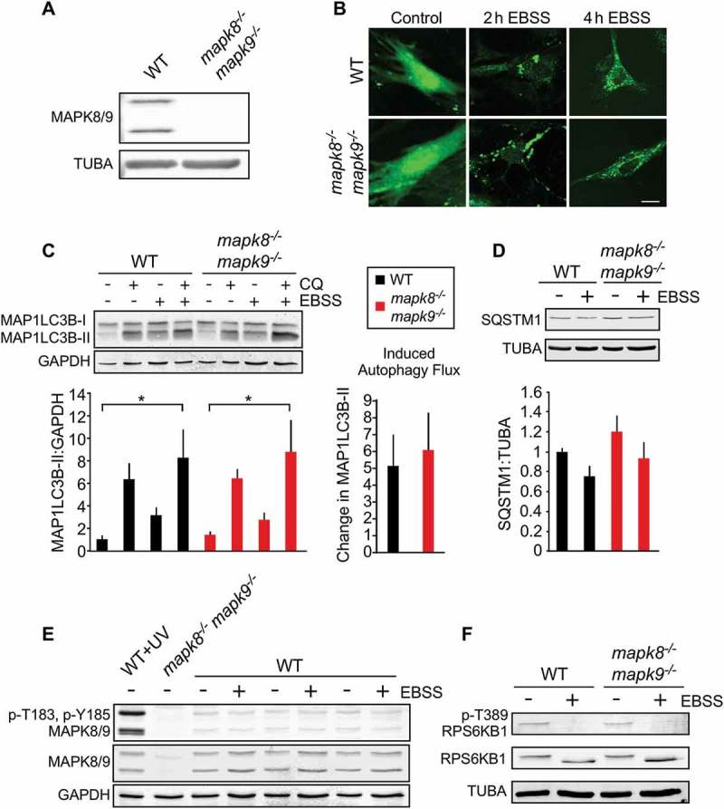 Autophagy caused by starvation does not require MAPK8/9 in primary MEFs. (a) (Z)-4-Hydroxytamoxifen-treated primary Rosa- Cre ERT (WT) MEFs and Rosa- Cre ERT Mapk8 LoxP/LoxP mapk9 −/- MEFs were examined by immunoblot analysis by probing with antibodies to MAPK8/9 and TUBA. (b) WT and mapk8 −/- mapk9 −/- primary MEFs were transduced with a lentivirus vector that expresses GFP-LC3B. Puncta formation following incubation with EBSS containing 5 mM glucose (2 and 4 h) was examined by fluorescence microscopy. Scale bar: 25 µm. (c) LC3B and GAPDH expression by WT and mapk8 −/- mapk9 −/- primary MEFs after incubation (2 h) in medium or with EBSS containing 5 mM glucose in the presence or absence of 25 µM chloroquine (CQ) was examined by immunoblot analysis. The LC3B-II:GAPDH ratios were normalized to the mean of WT control (first lane). The data presented represent the mean ± SEM; n = 3 independent experiments; *, p