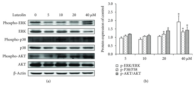 The effects of luteolin on ERK/p38/Akt in the ANA-1 cells. (a) Representative Western blot results showing phospho-ERK1/2/ERK1/2, phospho-p38/p38, and phospho-Akt/Akt expression in the ANA-1 cells. (b) The relative expression of proteins compared with the control. ∗ p