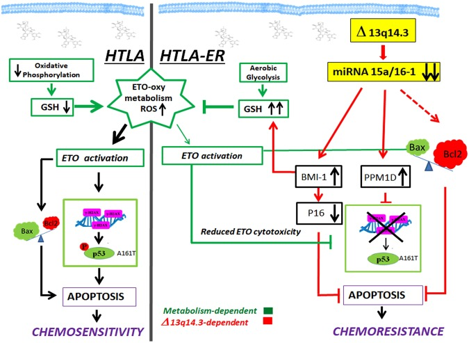 Molecular mechanisms underlying the chemoresistance of HTLA-ER cells. This figure illustrates the observed molecular mechanisms underlying chemoresistance of HTLA-ER cells and the events leading to apoptosis in etoposide sensitive HTLA parental cells. Left panel: Short-term treatment with etoposide of HTLA-230 cells reduces oxidative phosphorylation and decreases glutathione (GSH) levels inducing reactive oxygen species (ROS) overproduction, thus leading to DNA damage (H2AX). Consequently, etoposide-induced genotoxic stress increases pro-apoptotic Bax, reduces anti-apoptotic Bcl2 and stimulates P53-Ser15 phosphorylation, two events leading to apoptosis and chemosensitivity. Right panel: HTLA-ER cells are able to efficiently counteract etoposide-induced ROS production by maintaining an efficient aerobic metabolism and increasing GSH levels. Long-term treatment with etoposide causes a deletion of the 13q14.3 locus and the consequent downregulation of miRNAs 15a/16-1, stimulating several pro-survival signals which contribute to inducing chemoresistance.