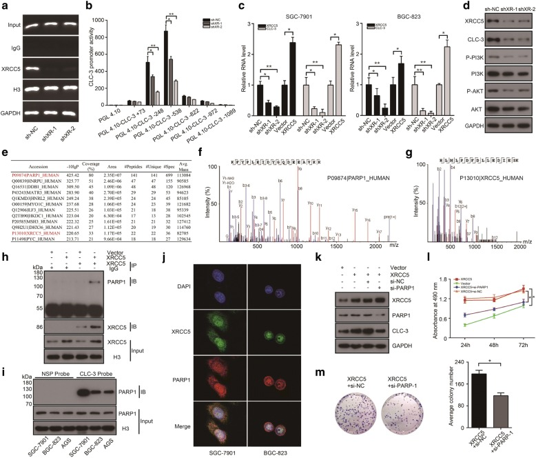 The expression of CLC-3 was regulated at the transcriptional level by XRCC5 interacting with PARP1. a The binding of XRCC5 to the CLC-3 DNA in SGC-7901 cells was suppressed after XRCC5 knockdown. b Knockdown of XRCC5 impaired the promoter activities of the pGL4.10-CLC-3 − 248 and pGL4.10-CLC-3 − 538 reporter plasmids in SGC-7901 cells ( n = 3). c The RNA level of CLC-3 was reduced after XRCC5 knockdown and increased after XRCC5 overexpression ( n = 3). d Knockdown of XRCC5 decreased the levels of key targets in the PI3K/Akt signaling pathway by downregulating CLC-3 in SGC-7901 cells. e – g PARP1 was identified as an interaction partner of XRCC5 by IP and MS in nuclear protein extracts of SGC-7901 cells. h The interaction between XRCC5 and PARP1 was confirmed by Co-IP in stable SGC-7901 cells with XRCC5 overexpression. i Binding between PARP1 and the CLC-3 promoter was detected by WB in the nuclear protein/DNA complex using synthesized probe or NSP. j The co-localization of XRCC5 and PARP1 was observed in the nucleus by confocal microscopy analysis. k Overexpression of XRCC5 increased the expression of CLC-3 in SGC-7901 cells, and the increase effect could be reversed by the PARP1 knockdown. l , m The proliferation and clonogenicity of SGC-7901 cells were promoted by XRCC5 overexpression, and the promotion effects were reversed by PARP1 knockdown ( n = 3). * P