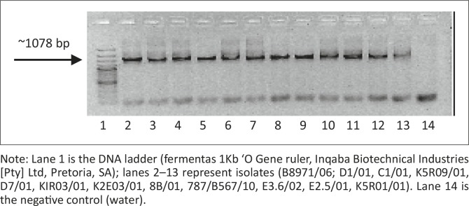 Polymerase chain reaction amplification products (4 reactions per isolate) on a 1% agarose gel for downstream applications. Note: Lane 1 is the DNA ladder (fermentas 1Kb 'O Gene ruler, Inqaba Biotechnical Industries [Pty] Ltd, Pretoria, SA); lanes 2–13 represent isolates (B8971/06; D1/01, C1/01, K5R09/01, D7/01, KIR03/01, K2E03/01, 8B/01, 787/B567/10, E3.6/02, E2.5/01, K5R01/01). Lane 14 is the negative control (water).