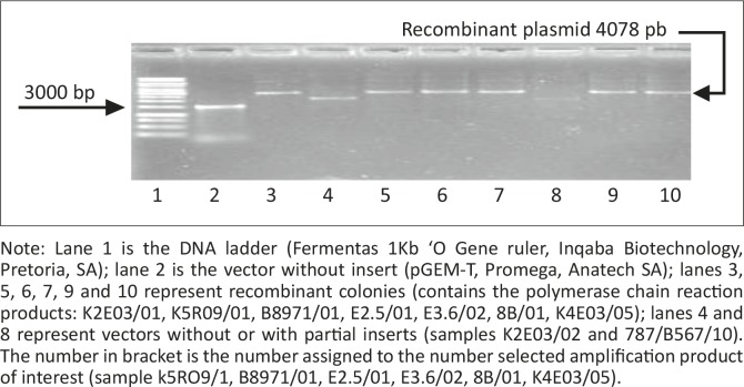 Purified plasmids. Note: Lane 1 is the <t>DNA</t> ladder (Fermentas 1Kb 'O Gene ruler, <t>Inqaba</t> Biotechnology, Pretoria, SA); lane 2 is the vector without insert (pGEM-T, Promega, Anatech SA); lanes 3, 5, 6, 7, 9 and 10 represent recombinant colonies (contains the polymerase chain reaction products: K2E03/01, K5R09/01, B8971/01, E2.5/01, E3.6/02, 8B/01, K4E03/05); lanes 4 and 8 represent vectors without or with partial inserts (samples K2E03/02 and 787/B567/10). The number in bracket is the number assigned to the number selected amplification product of interest (sample k5RO9/1, B8971/01, E2.5/01, E3.6/02, 8B/01, K4E03/05).
