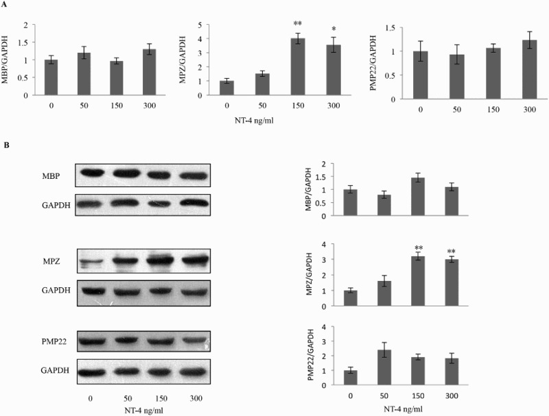 Effects of NT-4 on the mRNA levels of compact myelin proteins. (A) Schwann cells were exposed to NT-4 at the indicated concentration, and the mRNA level of MBP, MPZ, PMP22, and GAPDH was analyzed by real-time quantitative RT-PCR 12 h later. NT-4 significantly increased the MPZ mRNA level at the concentration of 150 ng/ml ( n = 5, p = 0.002) and 300 ng/ml ( n = 5, p = 0.013). (B) Expression of MBP, MPZ, and PMP22 was examined by western blotting analysis 12 h after NT-4 stimulation at the indicated concentration. A bar graph represents band intensities normalized to those for GAPDH. Each bar represents the average ± SEM of independent experiments. The MPZ protein level increased at the concentration of 150 ng/ml ( n = 5, p = .001) and 300 ng/ml ( n = 5, p = .001). * p
