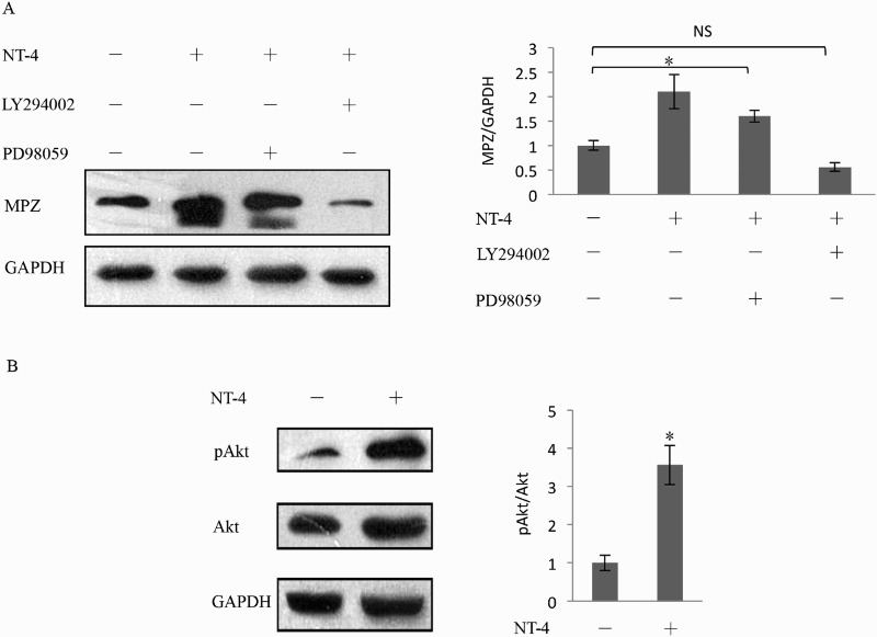 Regulation of MPZ expression by the PI3K/Akt pathway. As shown in (A) by western blotting analysis, before stimulated with 150 ng/ml recombinant NT-4, Schwann cells were pretreated with 25 μM PD98059 for 1 h and 40 μM LY294002 for 2 h. PD98059 did not show inhabitation to the elevation of MPZ expression. In contrast, LY294002 markedly inhibited the increase in the expression of MPZ ( n = 5, p = .001). (B) The Akt phosphorylation was examined by western blotting analysis. The level of Akt phosphorylation was significantly increased in the presence of NT-4 stimulation compared with the absence of NT-4. Each bar represents the mean ± SEM of five independent experiments. * p